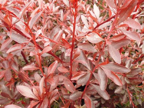 Berberis Red Chief 3 Litre